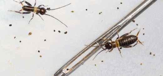 Zwei Nymphen in der Nähe Eines Nadelöhrs. Die linke dürfte frisch geschlüpft sein, während die rechte schon eine Häutung hinter sich haben dürfte.