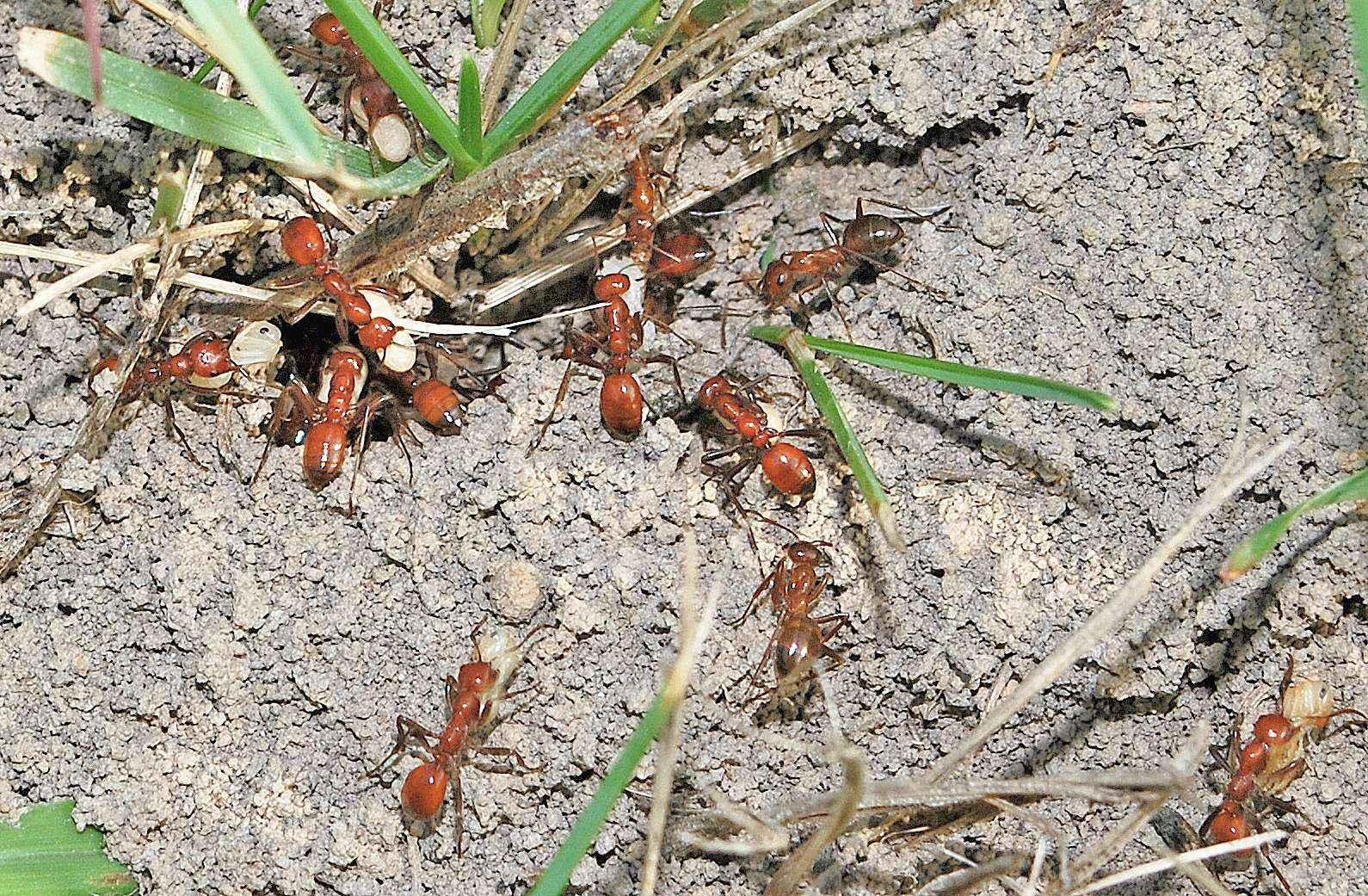 Amazonenameise Polyergus lucidus überfällt ein Nest (Video)