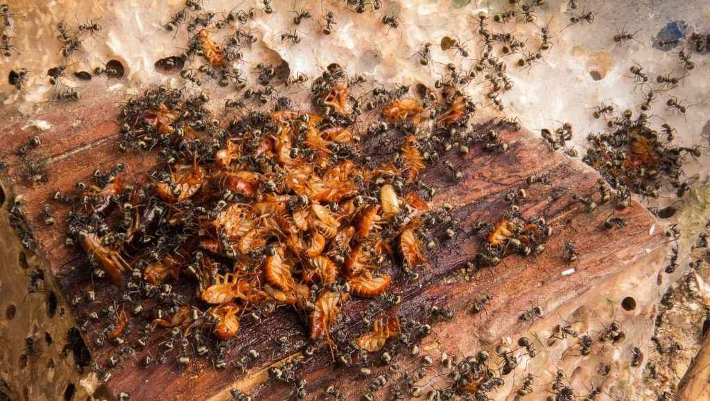 Ist die Geruchsentwicklung durch die Ameisenssäure so groß wie ihr Appetit?