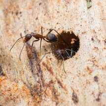 Eine Camponotus nicobarensis Arbeiterin trägt ein Stück Holz hinaus (Nahansicht)