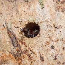 Eine Camponotus nicobarensis Arbeiterin lässt ein Stückchen Holz los.