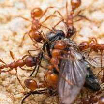 Nahansicht einiger Manica rubida Arbeiterinnen, die gerade eine Fliege zerlegen.