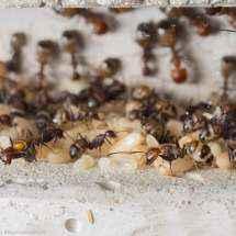 Blick in eine Kammer des Betonnests der Camponotus nicobarensis Kolonie