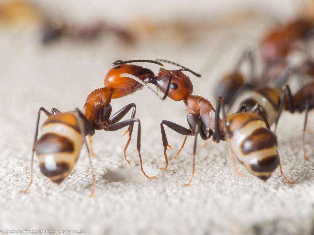 Zwei Camponotus nicobarensis Arbeiterinnen bei der Trophallaxis