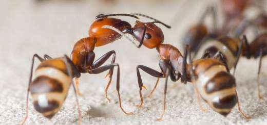 Einheimische Ameisen Vor Wahrend Der Winterruhe Kaufen Crazy Ants