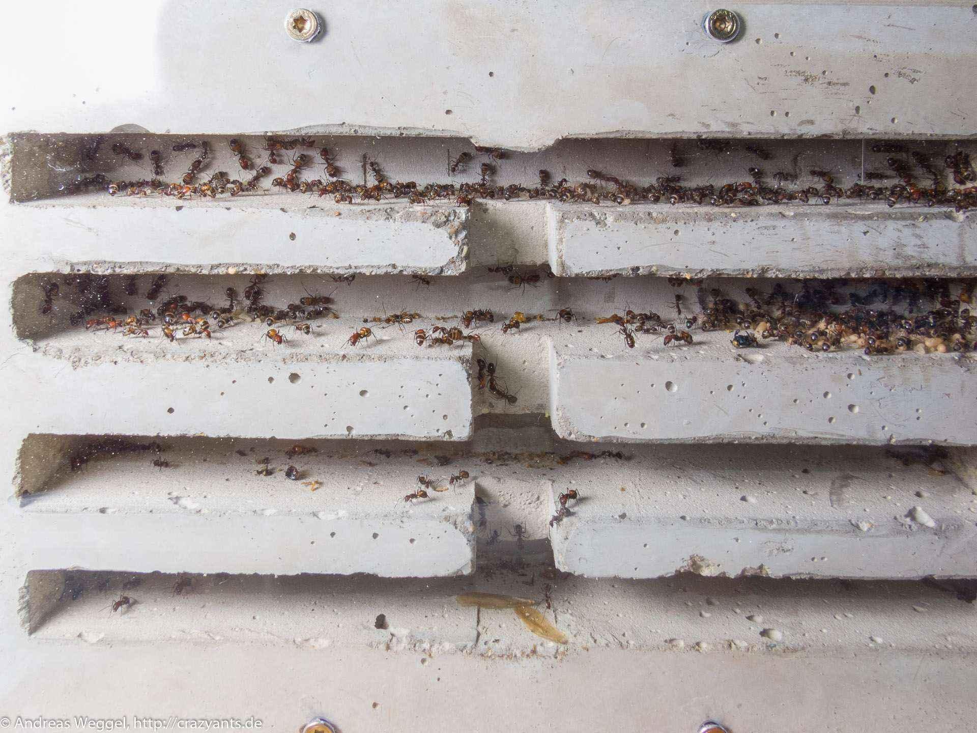 Camponotus nicobarensis: Betonbunker