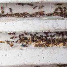 Das Bild zeigt zwei Kammern des Betonnests in dem die Camponotus nicobarensis Kolonie lebt.