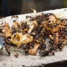 Camponotus nicobarensis Arbeiterinnen beim Abtransport eines Haufen toter Stubenfliegen