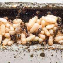 Foto eines der Puppenhaufen im Nest der Camponotus nicobarensis Kolonie