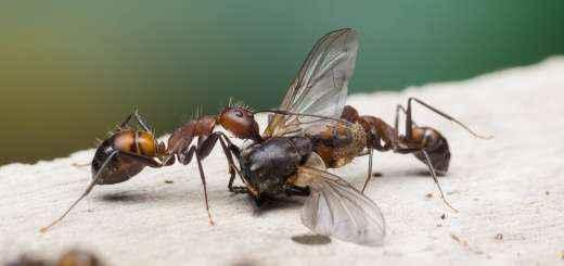 crazy ants der blog ber ameisen ameisenhaltung und die. Black Bedroom Furniture Sets. Home Design Ideas