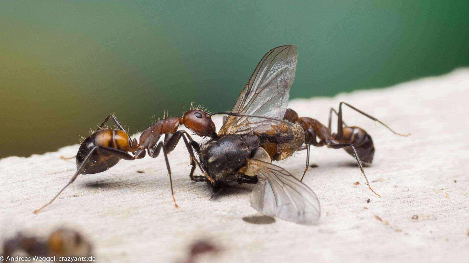 Camponotus nicobarensis: Fliegenschmaus und gutes Wachstum