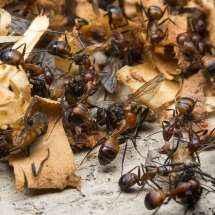 Mehrere Camponotus nicobarensis Arbeiterinnen beim Abtransport der Stubenfliegen