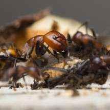 Major-Arbeiterin der Art Camponotus nicobarensis beim Zerlegen einer Stubenfliege