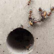Camponotus nicobarensis Arbeiterinnen tragen Fliegen in Richtung Nesteingang