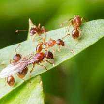 Nahaufnahme einer Myrmica sp Königin zusammen mit mehreren Arbeiterinnen