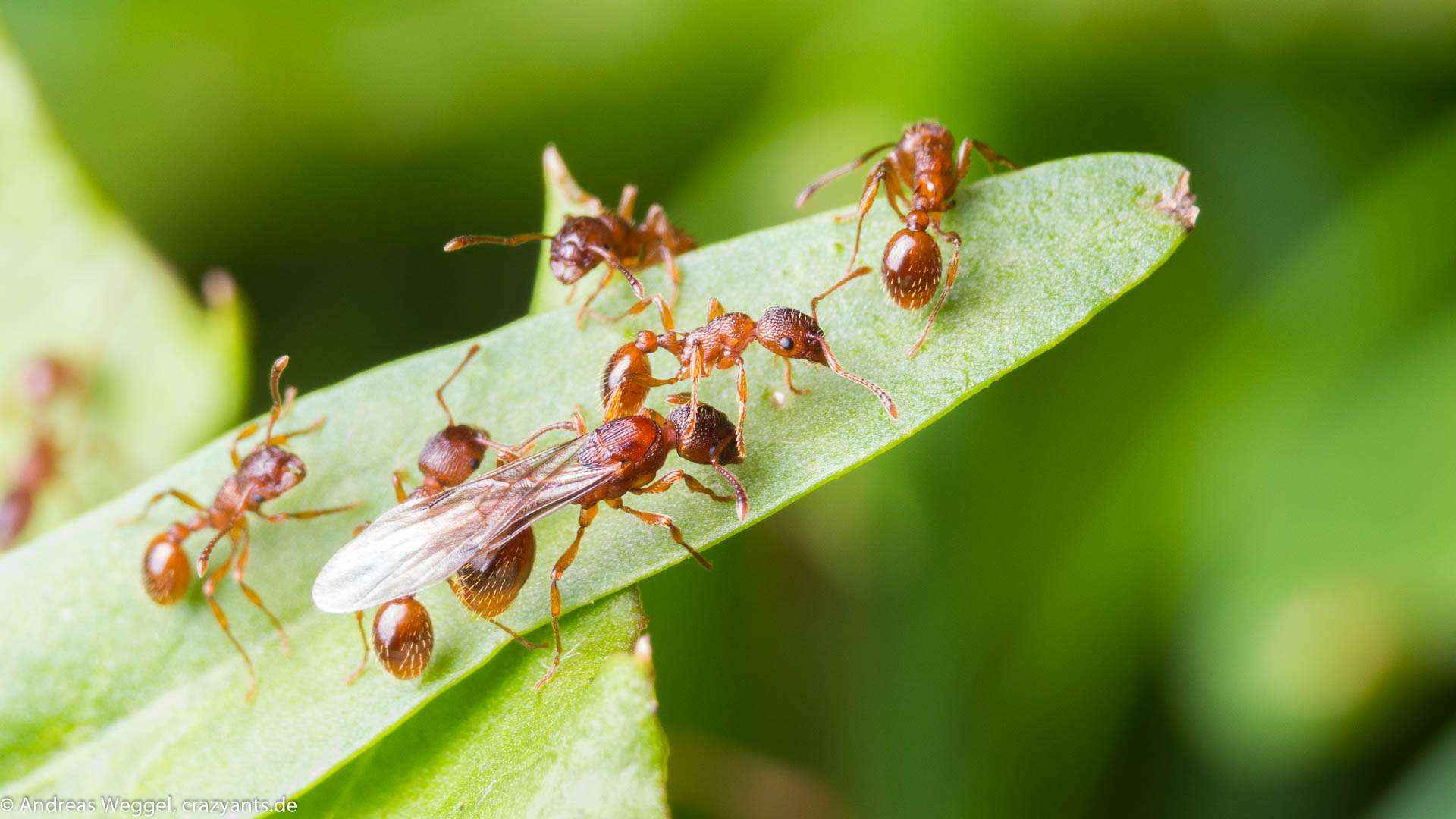 Myrmica sp: Schwarmflug im Garten