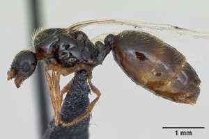 Solenopsis fugax Königin