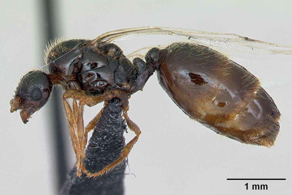 Solenopsis fugax von Tetramorium sp unterscheiden