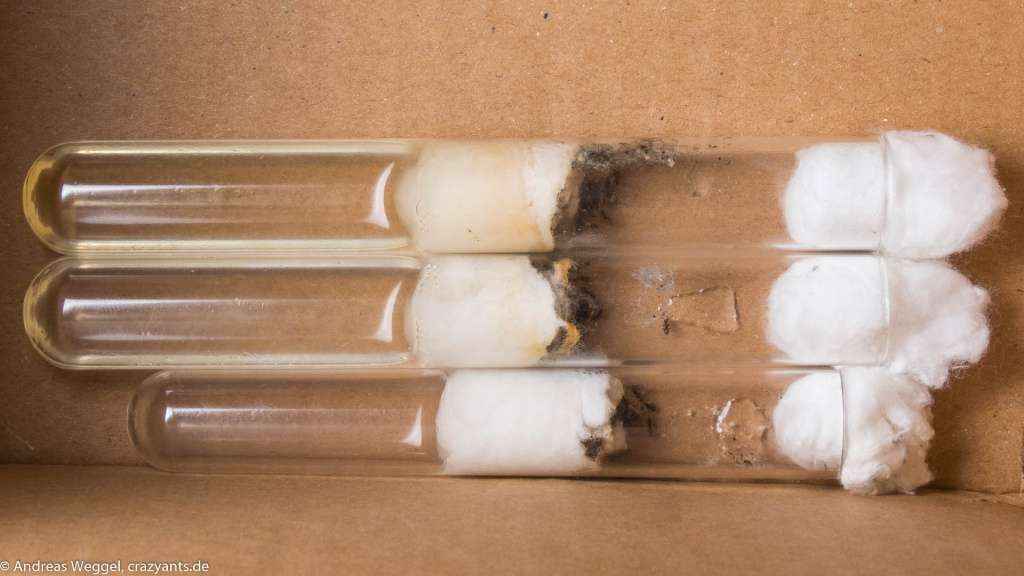 Drei Reagenzglasnester in denen junge Lasius niger Kolonien aus dem Schwarmflug 2017 leben.