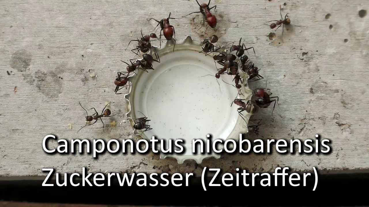 Camponotus nicobarensis: Zuckerwasser (Video)