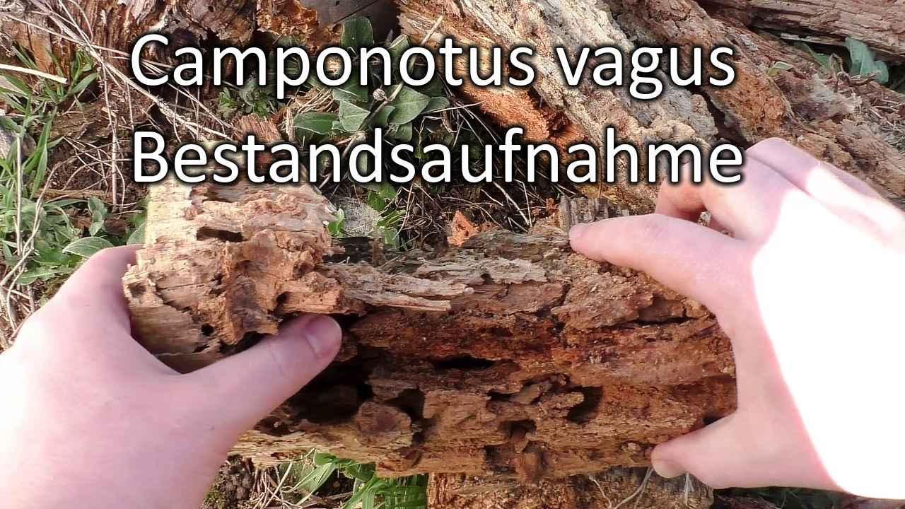 Camponotus vagus: Bestandsaufnahme