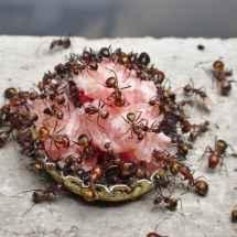 Camponotus nicobarensis Arbeiterinnen beim Zerlegen eines Stücks Zwiebelmettwurst.
