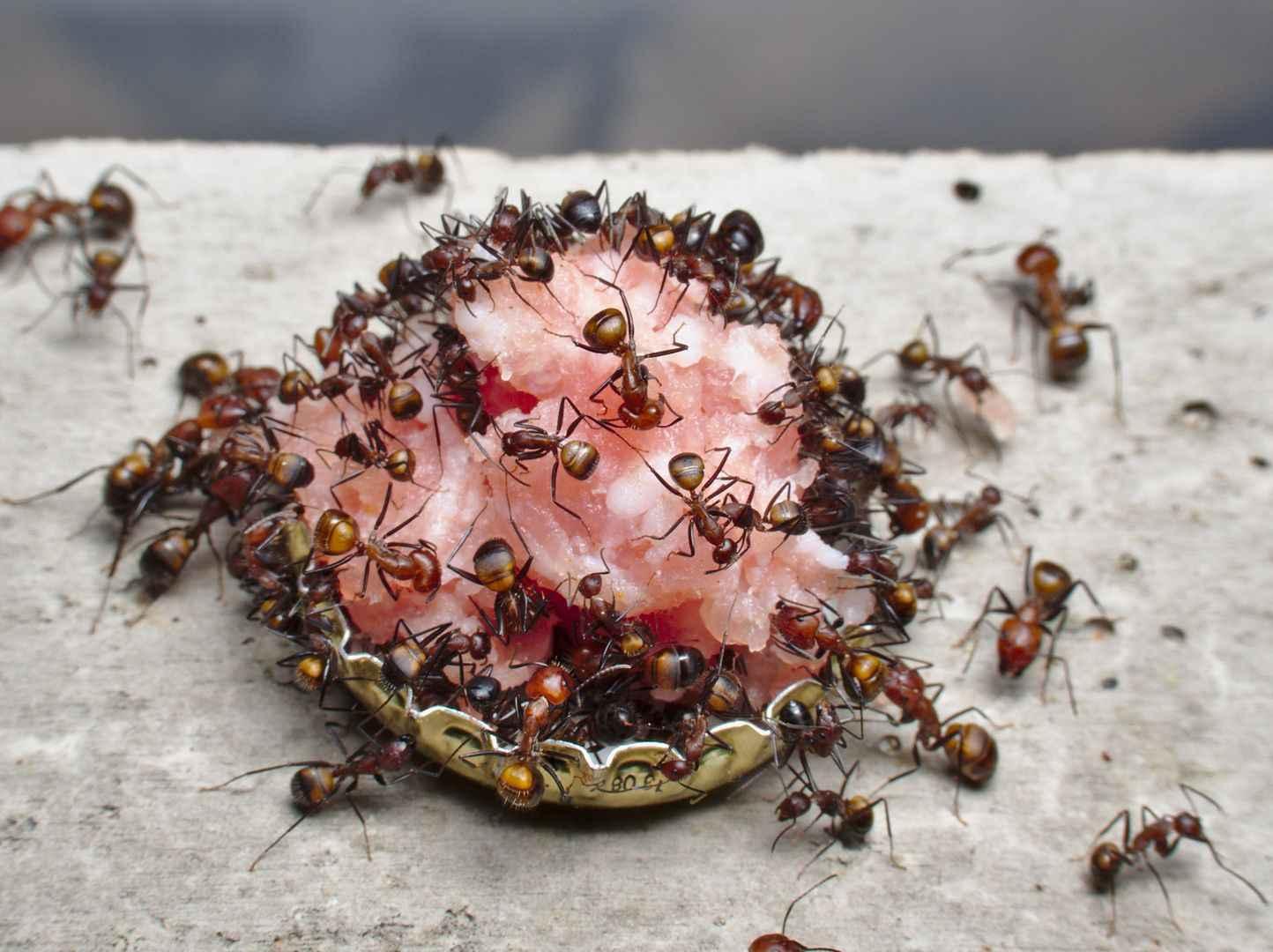 Camponotus nicobarensis: Zwiebelmettwurst