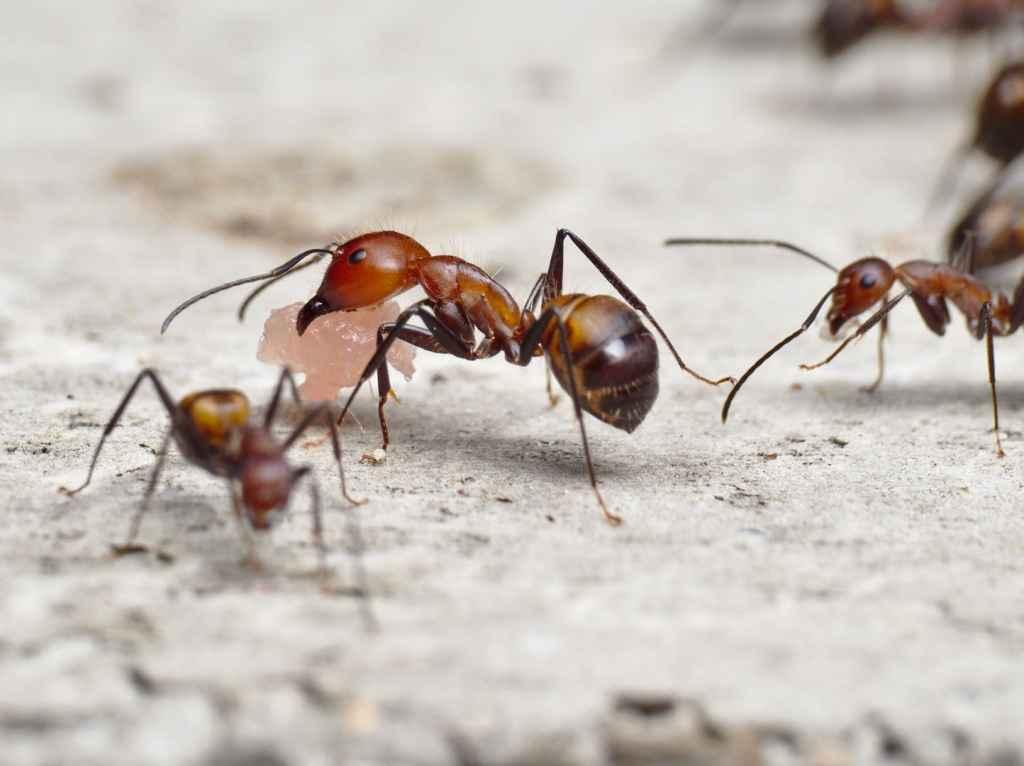 Eine Camponotus nicobarensis Major-Arbeiterin trägt ein Stück Zwiebelmettwurst zurück zum Nest.