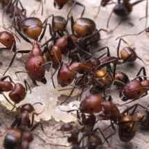 Camponotus nicobarensis Arbeiterinnen fressen ein Stück rohes Hähnchenfleisch.