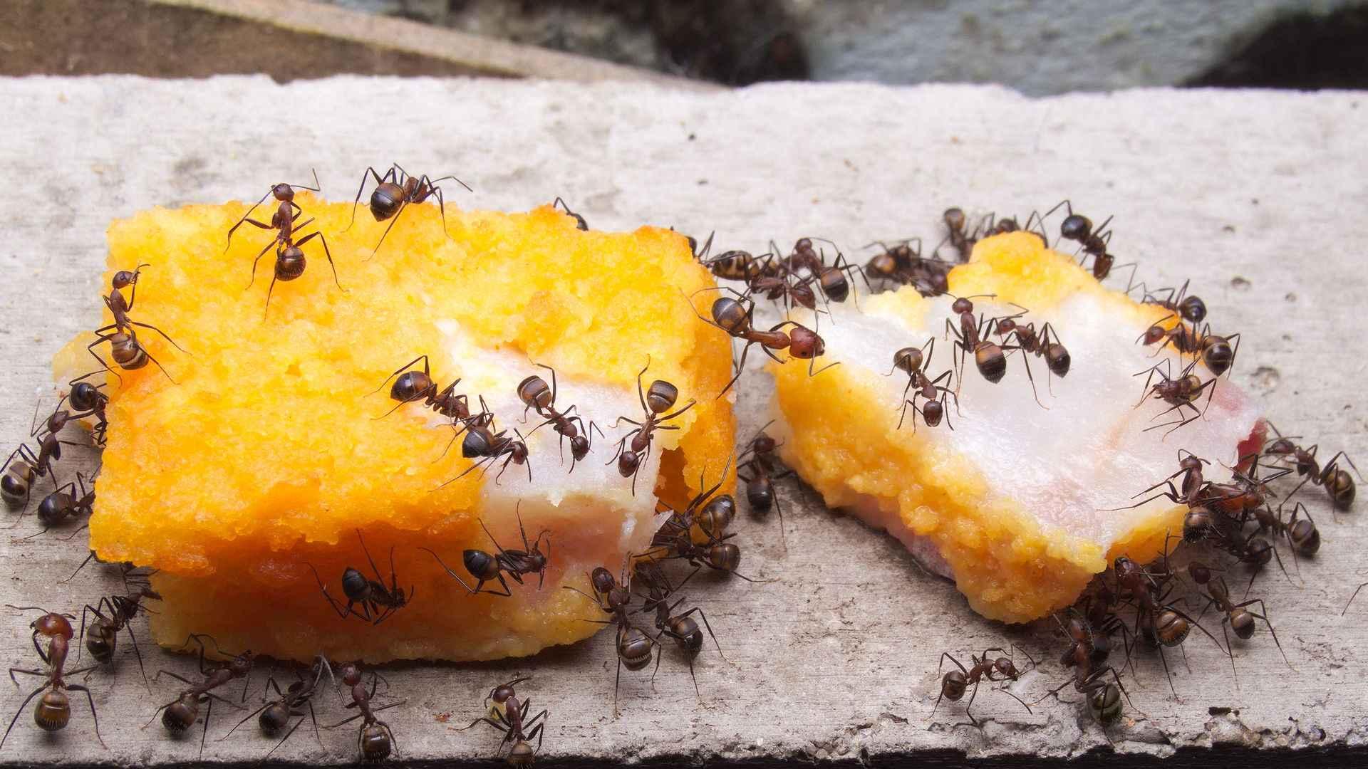 Camponotus nicobarensis: Fischstäbchen