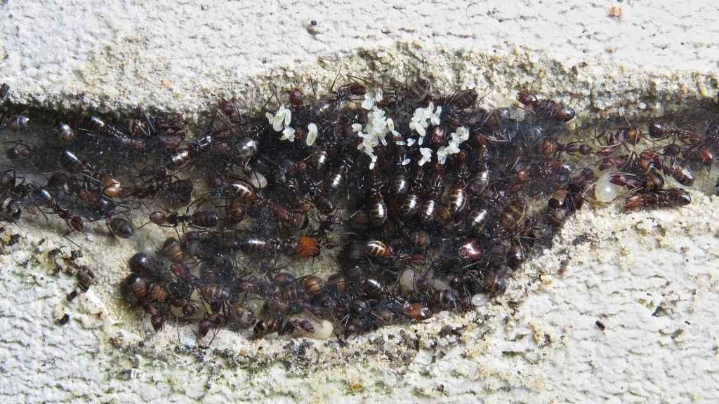 Auf dem Bild sieht man Eier und kleinere Larven, die von den Ameisen an die Scheibe des Ytongnests geklebt wurden.