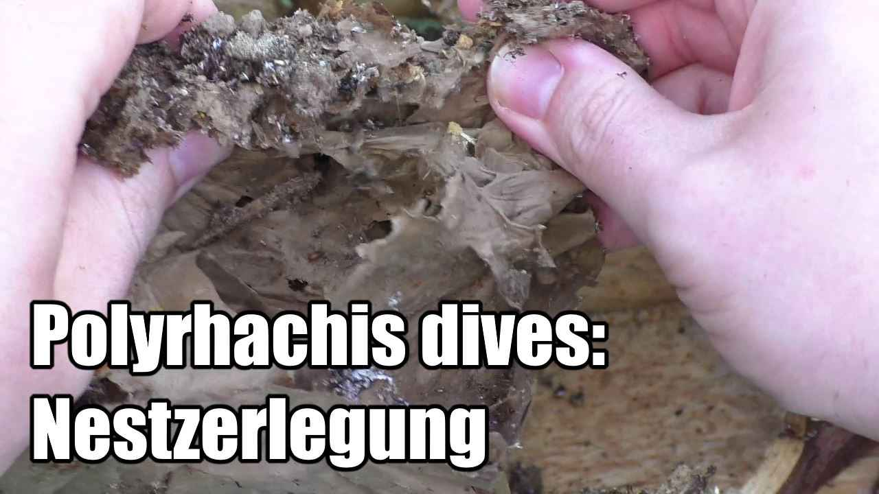 Polyrhachis dives: Nestzerlegung (Video)