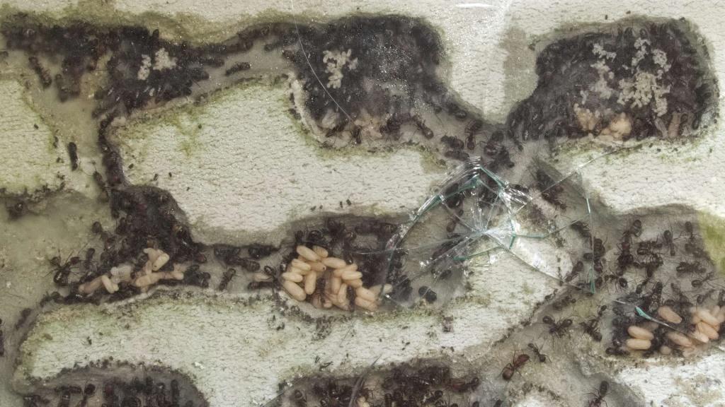 Man sieht ein Ameisennest aus Ytong in dem Camponotus nicobarensis Ameisen leben, dessen Scheibe einen Sprung hat.