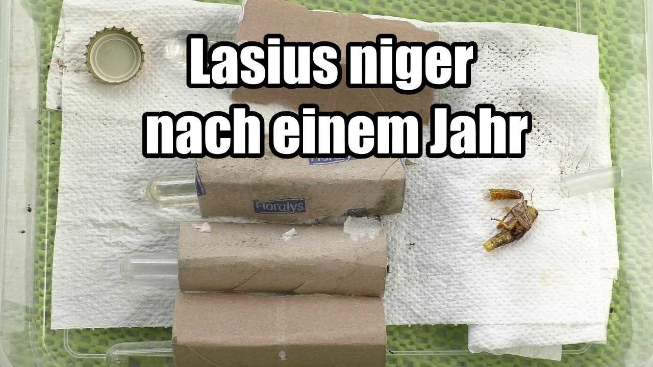 Lasius niger nach einem Jahr (Video)