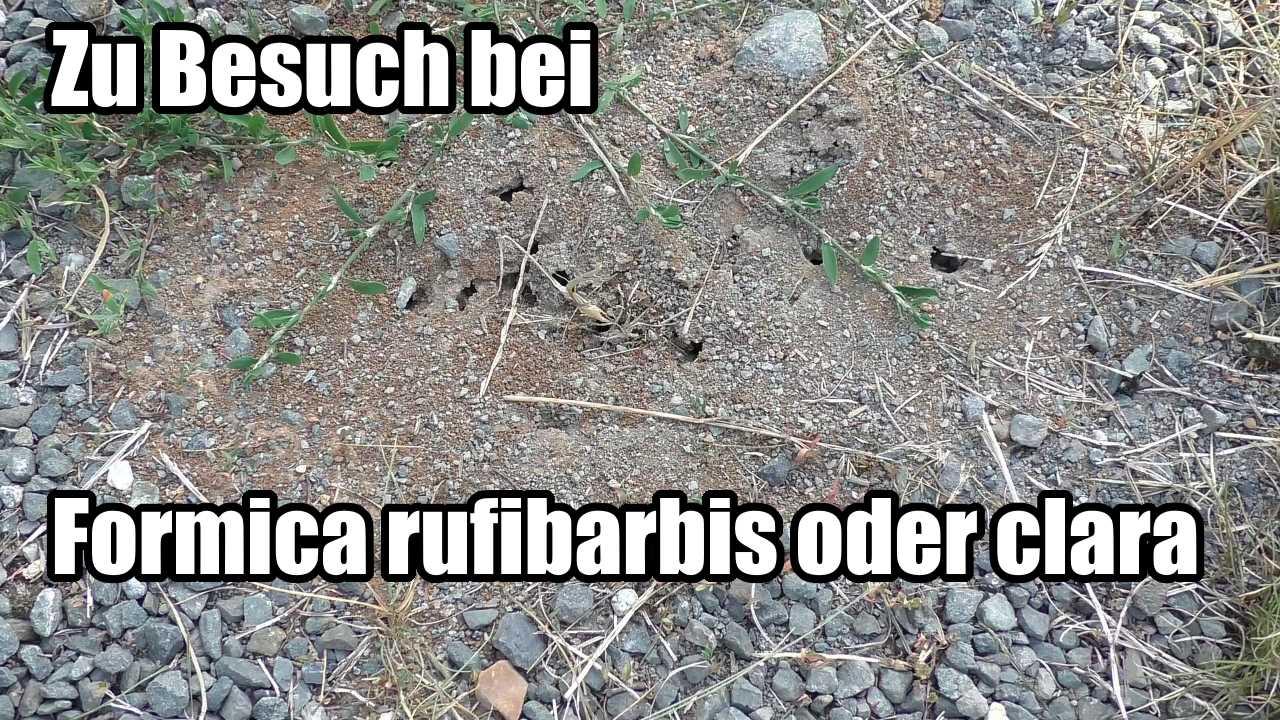 Zu Besuch bei Formica rufibarbis oder clara (video)