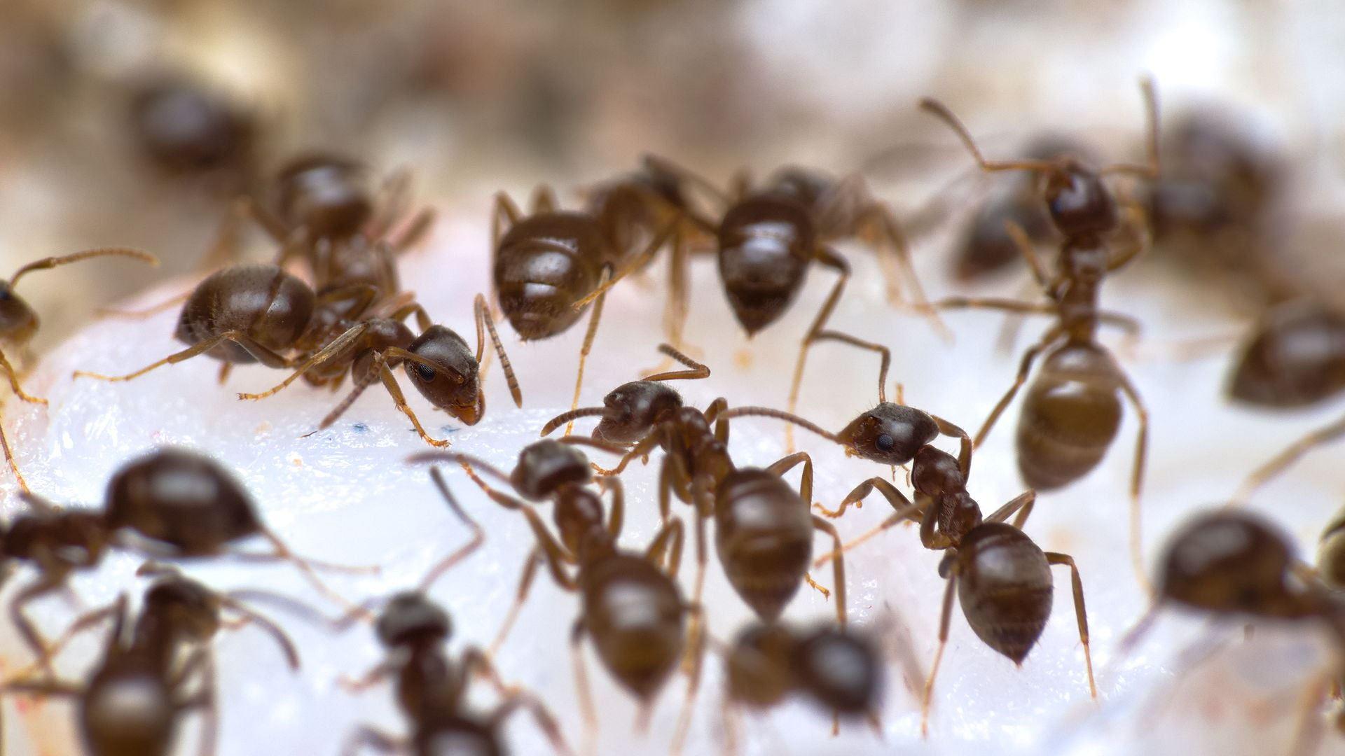Mehrere Lasius niger Arbeiterinnen nehmen salzige Flüssigkeit von der Oberfläche des Shrimps auf.