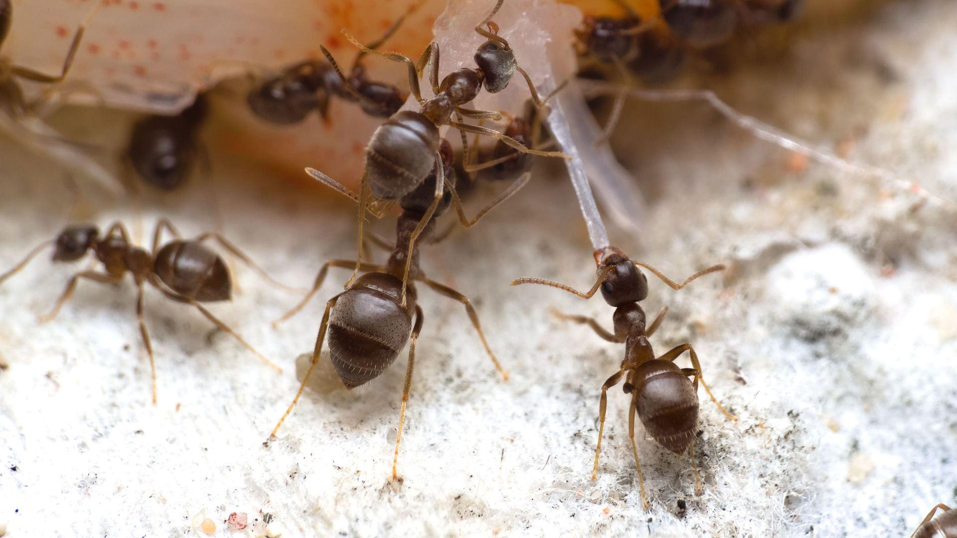 Eine Ameise versucht ein Stück aus dem Garnelenfleisch zu lösen.