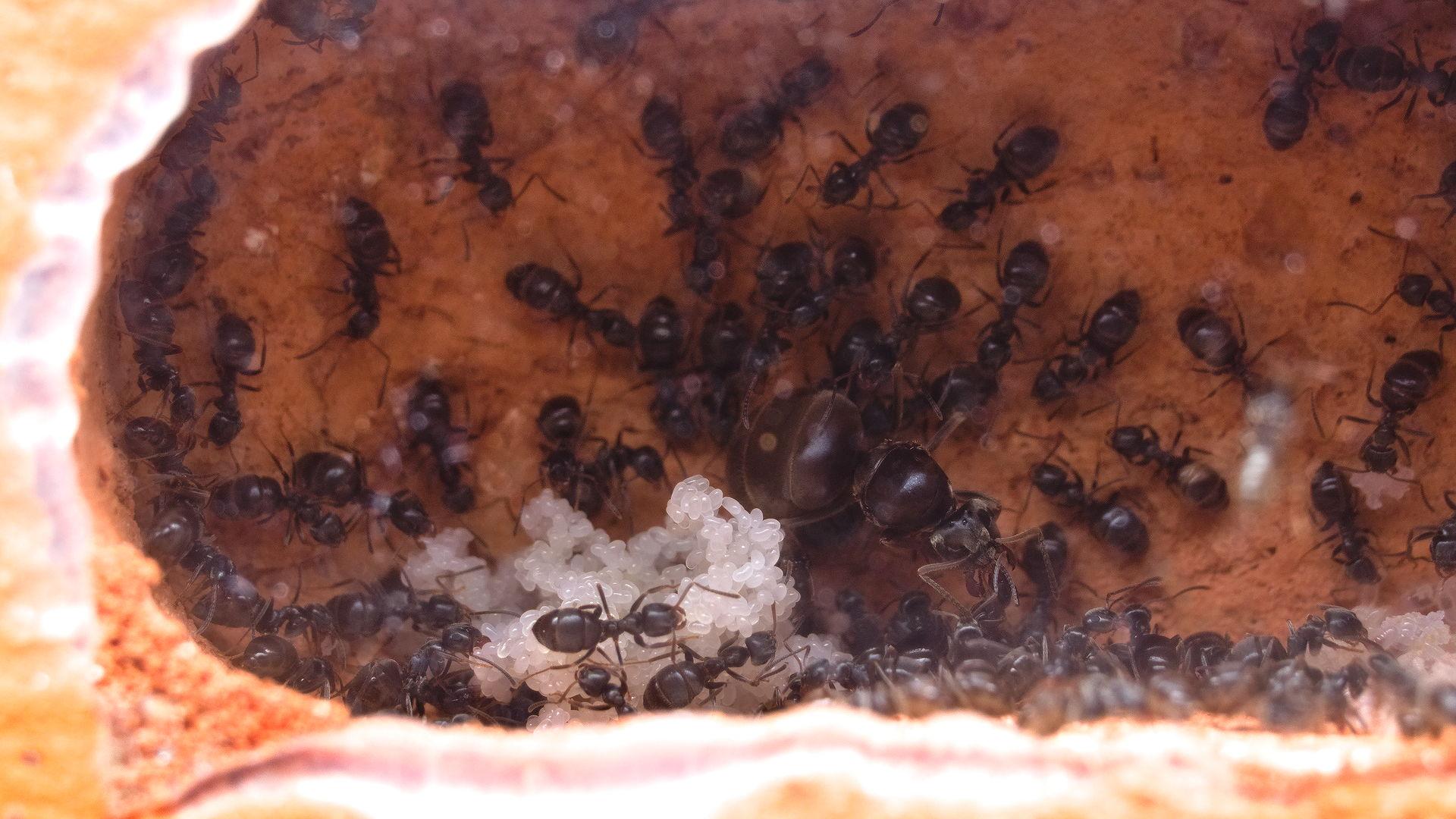 Lasius niger: Königin auch umgezogen