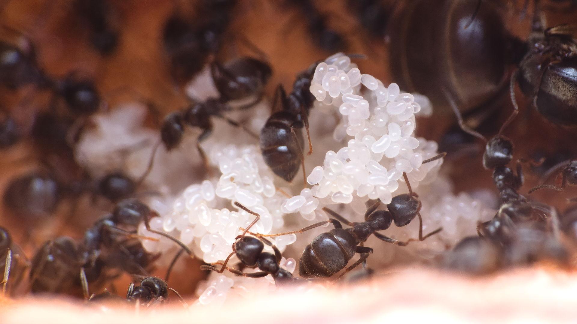 Nahansicht eines Eierbergs einer Lasius niger Kolonie