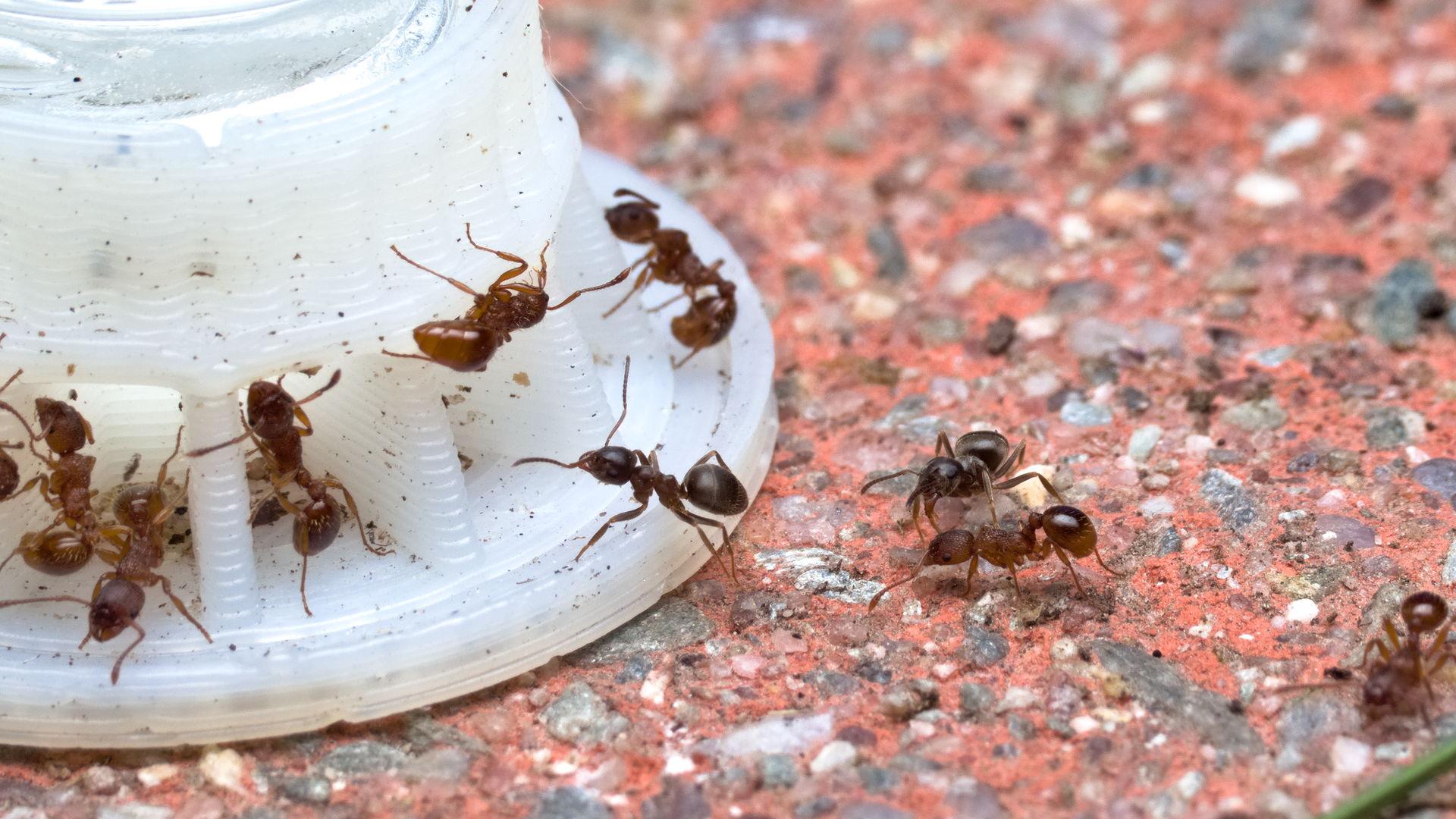 Lasius niger Arbeiterinnen eilen zur Ameisentränke