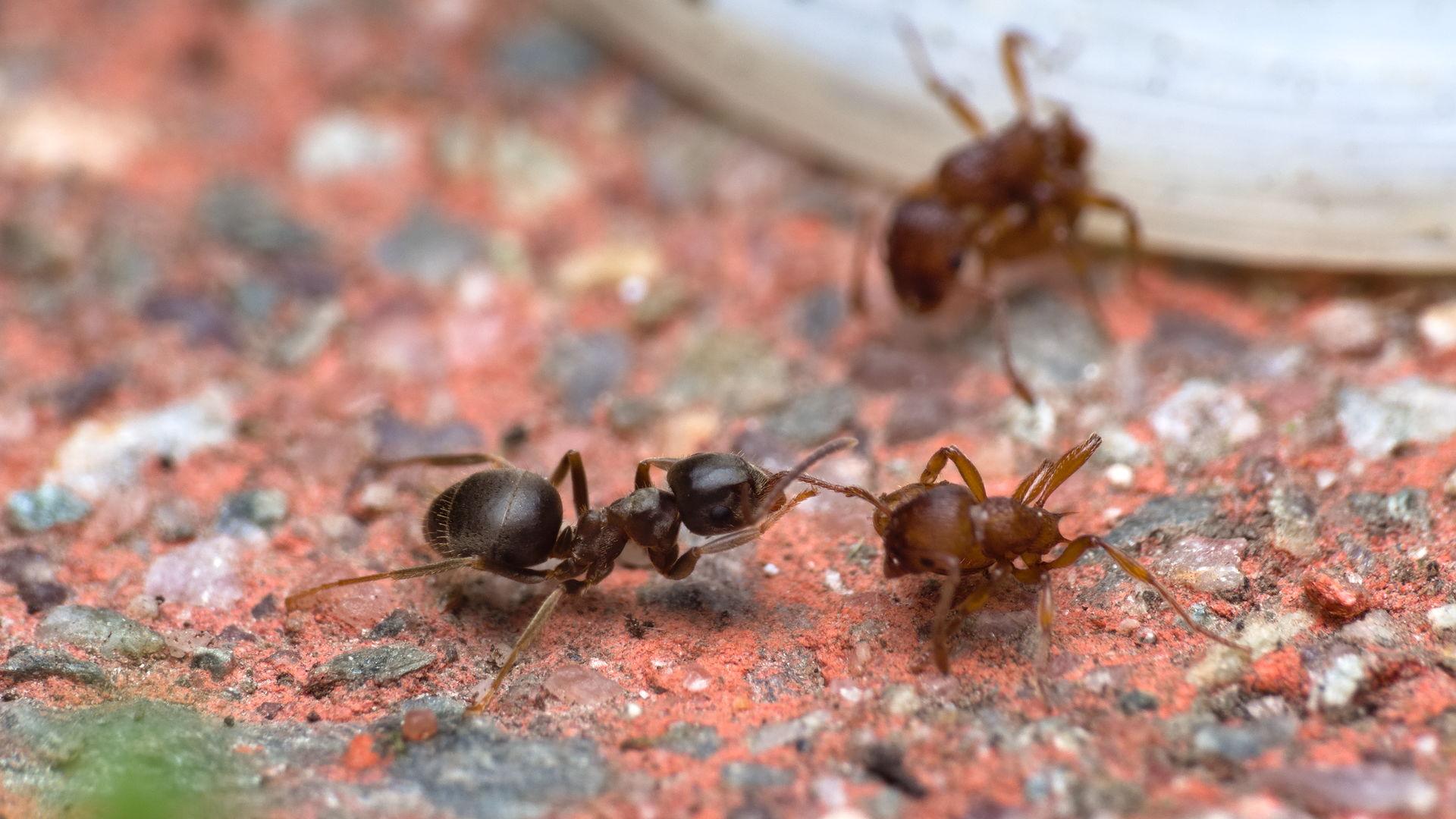 Lasius cf. niger vs Myrmica sp.