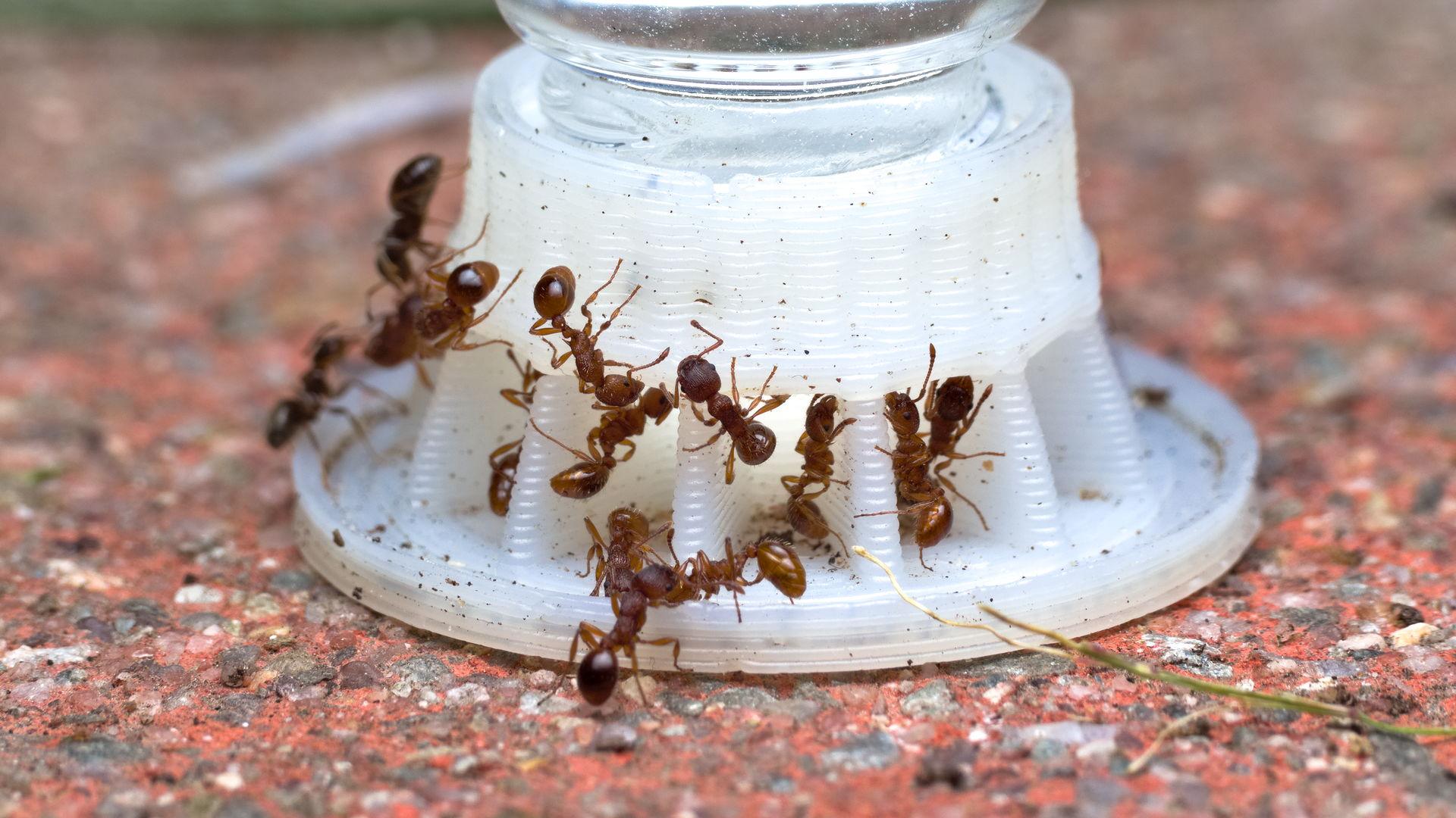 Mehrere Myrmica sp. Arbeiterinnen trinken Zuckerwasser von einer byFormica Ameisentränke