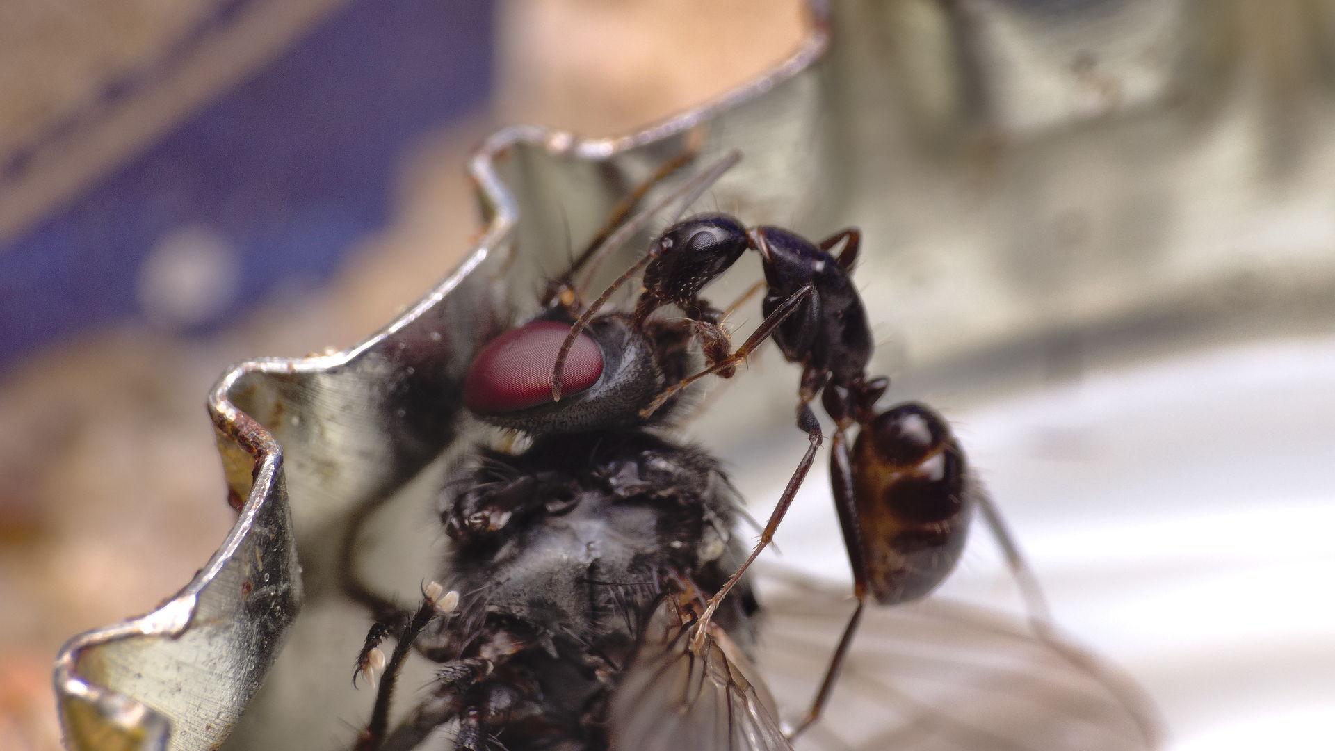 Mit Fliegen fängt man Ameisen