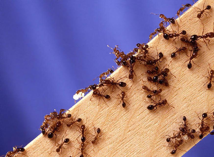 Haltung invasiver Ameisenarten weiterhin erlaubt