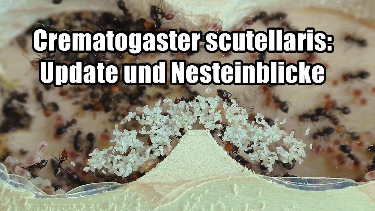 Crematogaster scutellaris: Update und Nesteinblicke