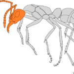 Seitenansicht einer Ameise. Der Caput (Kopf) ist farblich hervorgehoben