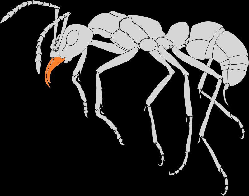 Seitenansicht einer Ameise. Die Mandibeln (Mundwerkzeuge) sind farblich hervorgehoben.