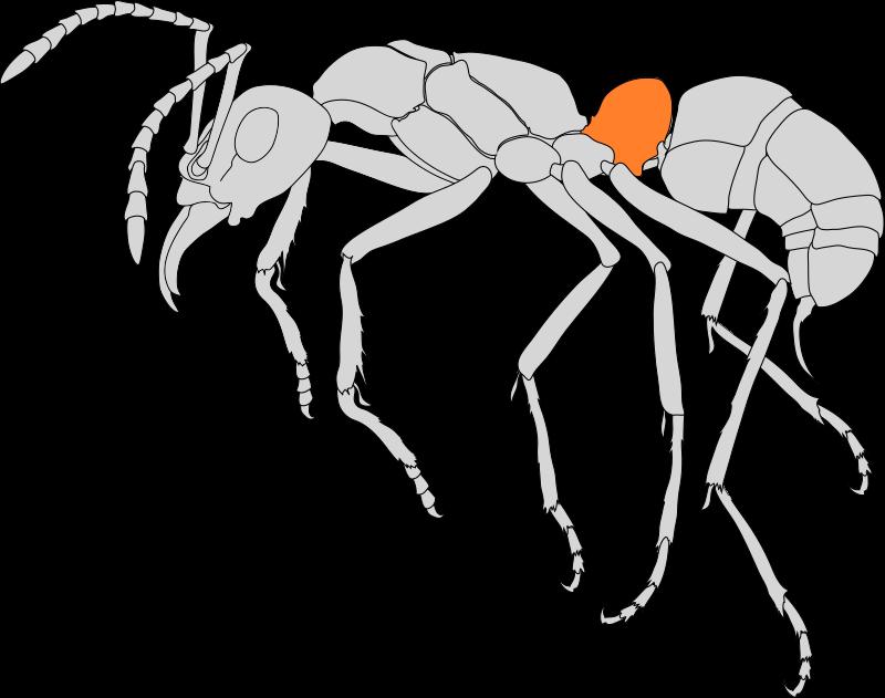 Seitenansicht einer Ameise. Das Petiolus (Stilchen) ist farblich hervorgehoben.