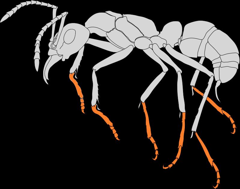 Seitenansicht einer Ameise. Die Tarsen sind farblich hervorgehoben.