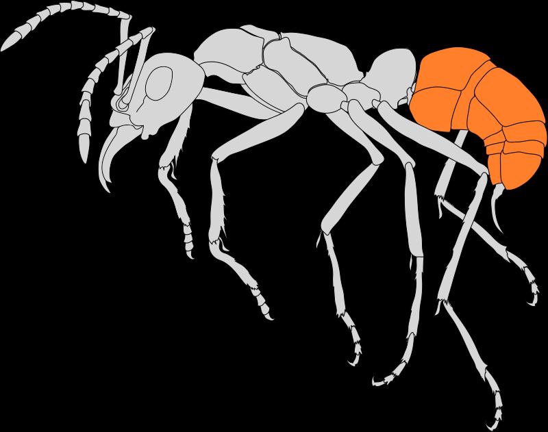Seitenansicht einer Ameise. Die Gaster ist farblich hervorgehoben.